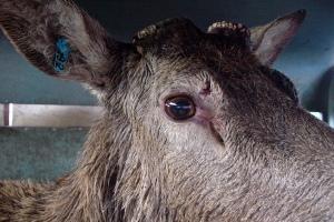 Carted deer hunting cruelty - deer in cart
