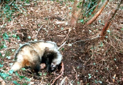 Badger Snaring Victim (Ireland)