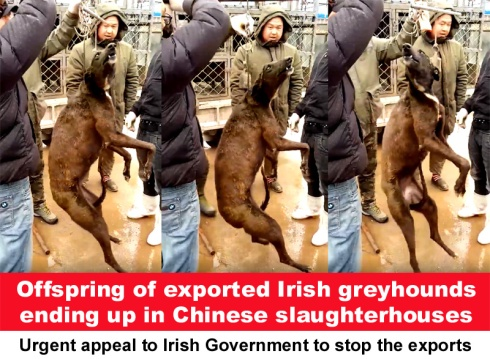 offspring of exported irish greyhounds ending up in Chinese slaughterhouses