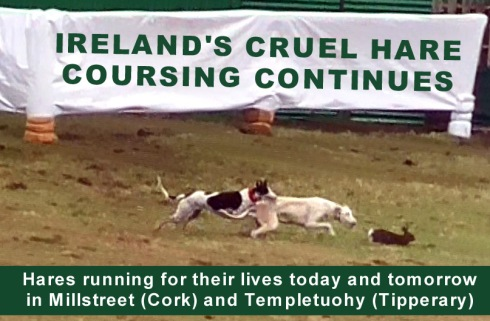 coursing 2019 millstreet templetuohy