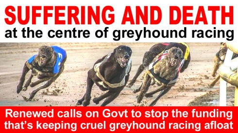 suffering and death at the centre of greyhound racing copy