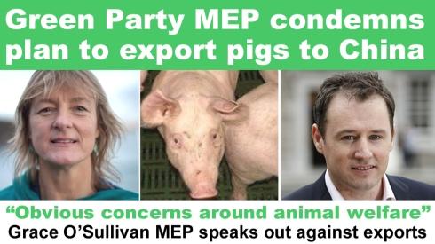 grace o'sullivan condemns pig export plan copy